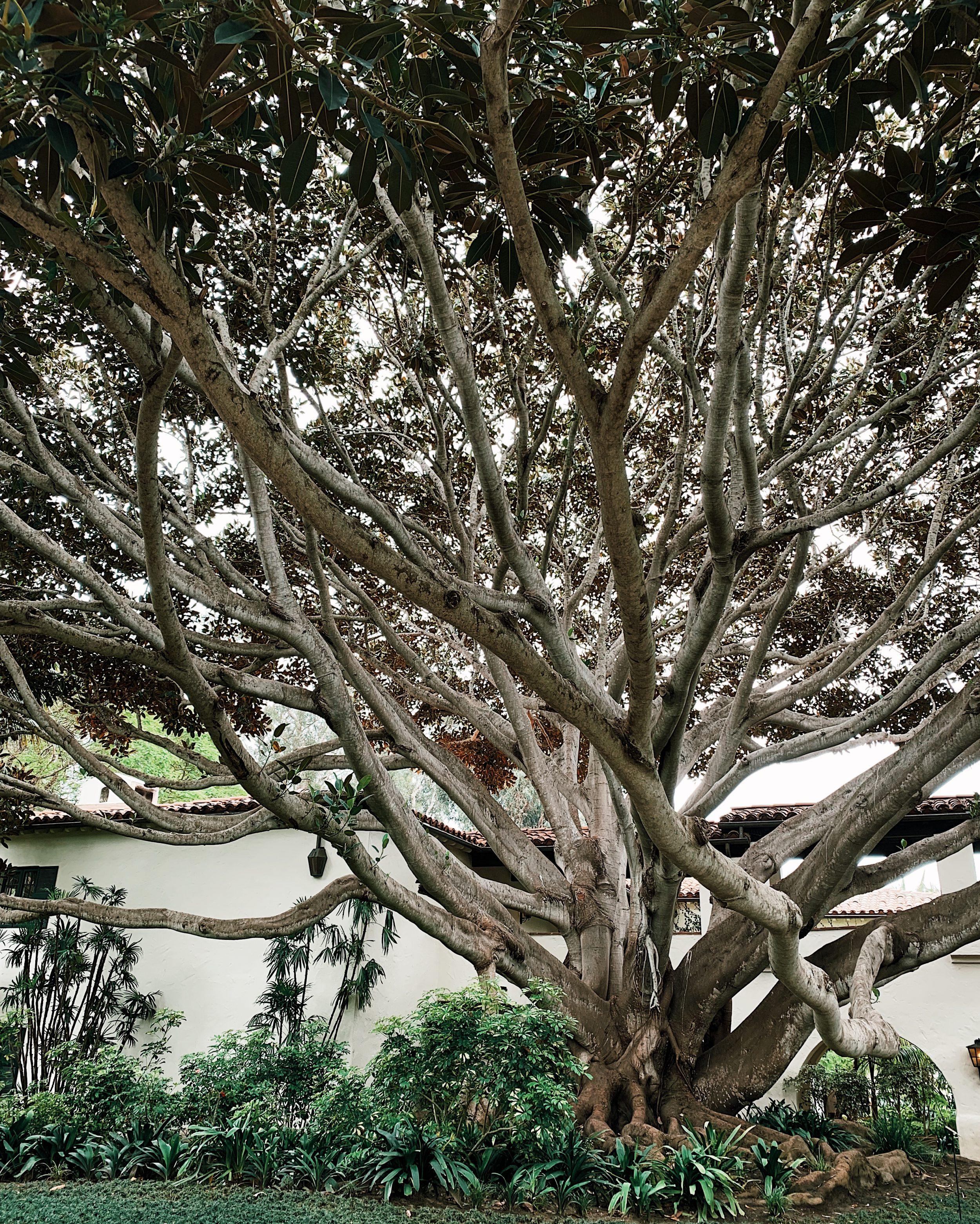 fig tree at four seasons santa barbara review